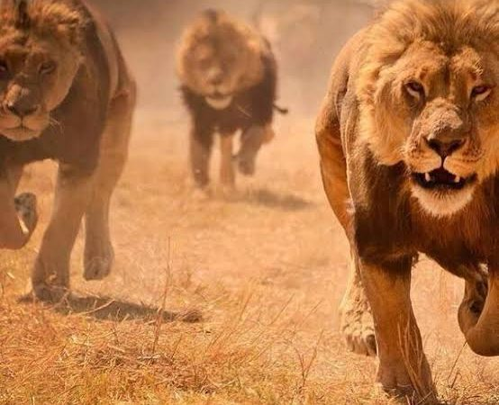 BREAKING: 14 lions escape into S' Africa villages
