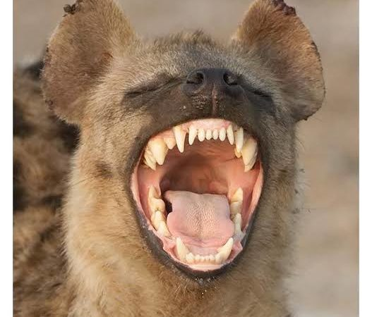 Hyena on the rampage after escaping from Imo zoo