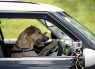 Man arrested for teaching dog how to drive