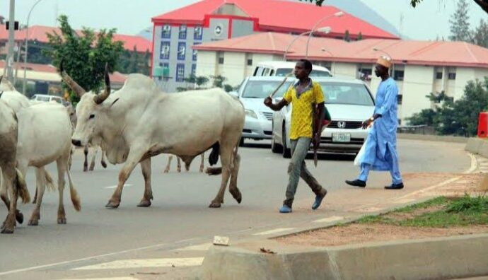 Miyetti Allah petitions police over 'missing herders, 322 cows'